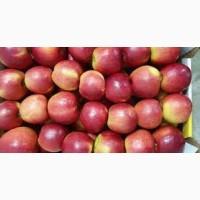 Продам яблука Голден, Чемпіон оптом