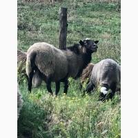 Куплю овец Романовской породы самовывозом, бараны, ягнята, консультации овцеводам