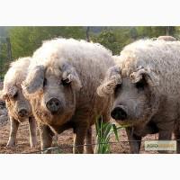 Свиноматки супоросні венгерської пухової мангалиці