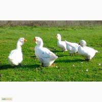Продажа инкубационных яиц гусей породы Холмагор.Доставка в любой город Украины