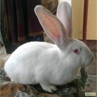 Мясные кролики породы Белый панон