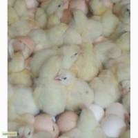 Яйца инкубационные и цыплята бройлера КОББ 500