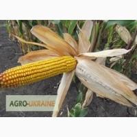Семена кукурузы венгерской Вудсток Гибрид ГС 210 - ФАО 210