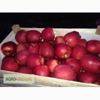 Продам яблоки ( сорта Флорина, ДжонаГолд, Айдаред)
