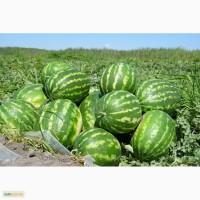 Продам Арбузы оптом от 1 тонны по 2 грн