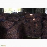 Продаем картофель оптом, картошка сорт Романо