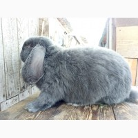 Обмен кроликов фландр и баран на пшеницу, ячмень, кукурузу