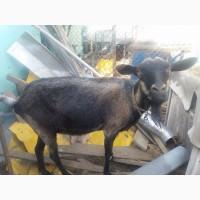 Прдам альпийских коз покрытых 100% нубийцем