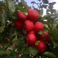 Продам яблука, сорт Гала Маст, Чемпіон, Голден, Муцу, Джонаголд, Семеринка, гарне яблуко