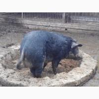 Продам кабана породы Мангал для разведения