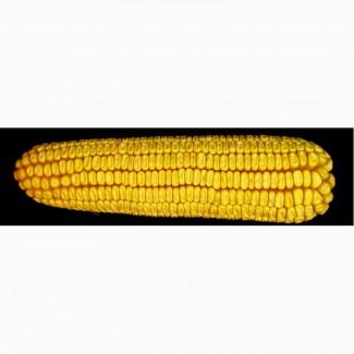Купить семена кукурузы Моника (МАИС)
