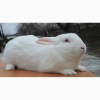 Продам кроликов Термонская белая