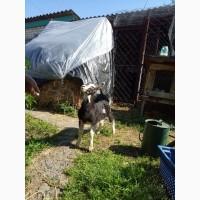 Продам козлика Альпійської породи Черкаська область