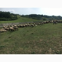 Срочно!! продам стадо овец 320 голов романовская порода