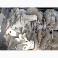 Продам гриб вешанка