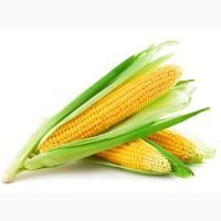 Закупаем зерно кукурузы в базе