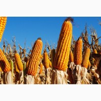 Семена кукурузы Канадский трансгенный гибрид кукурузы SEDONA BT 166 ФАО 180