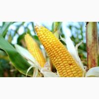 Канадский трансгенный гибрид кукурузы SEDONA BT 166 ФАО 180