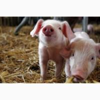 Поросята, підсвинки, свині