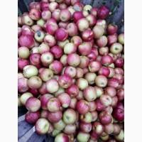 Продам сортовые яблока