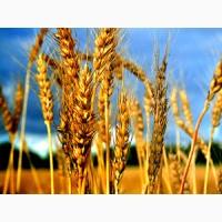 Пшеницю (фураж, прод)