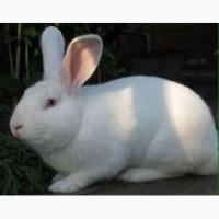 Продам кролі породи Термонська Біла