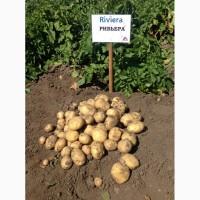 Картошка Ривьера