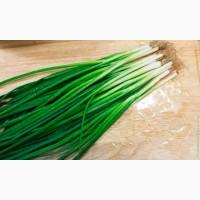 Лук зеленый Перо цена 30 грн. чистый идеальный