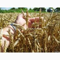 Підприємство купляє пшеницю некласну, хороша ціна