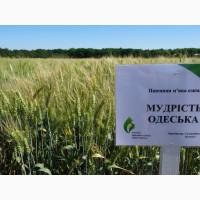 Семена экстрасильной пшеницы Мудрость Одесская