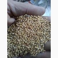 Зерно жовтого проса без хімії, чисте