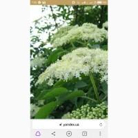 Закупае сухой цвет ЛИПЫ 250гр и БУЗИНЫ 140гр, покупае свежесорваный цвет липы
