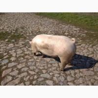 Закупаем на постоянной основе свиней живым весом от 40 гол