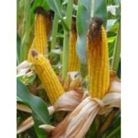 Насіння кукурудзи ДК Бурштин