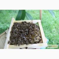 Пчеломатки, бджоломатки карпатка 2019. Пчелиные плодные ( меченые) матки
