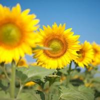 Семена подсолнечника Сонячний настрий