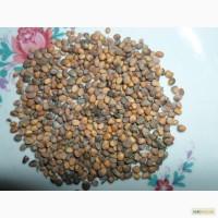 Продам семена редиски, доставка почтой по Украине