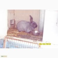 Кролики серебристые и НЗБ