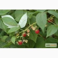 Листья малины 50 грамм