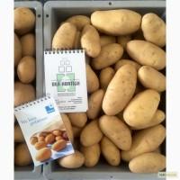 Продаю Качественный семенной картофель - сорт Гранада