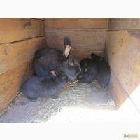Акцыя! Кролики Голубая Венская