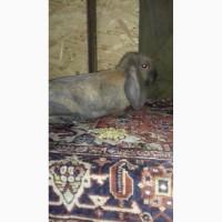Продам кроликов породы Французский баран и Калифорния