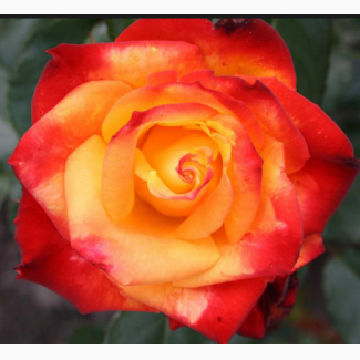 Саженцы роз сорт Mine Muеnchen (Мейн Мюнхен)