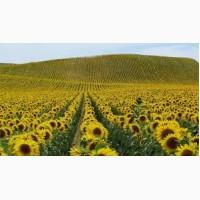 Скоростиглий соняшник Українське сонечко (90-95 дн.)