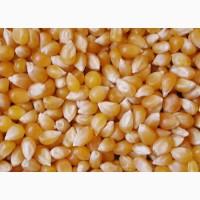 Купим кукурузу Киевская обл