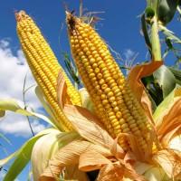 Продаємо насіння кукурудзи Гран240