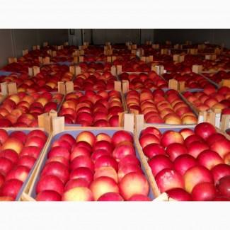 Яблуко оптом від виробника. Сорти: Голден, Ред Чіф, Гала, Дакоста, Фуджі, Семеренко та ін