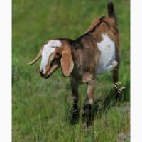 Продам кіз нубійської породи