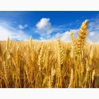 Куплю просо, сою, кукурузу, пшеницу, горох, лен, сорго, овес
