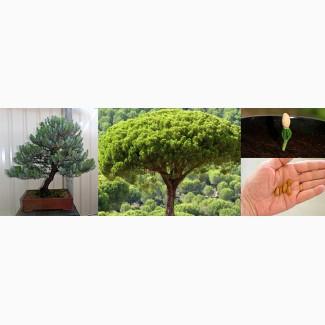 Пинея (семена для бонсай) Pinus pinea
